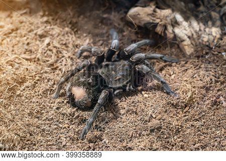 Giant Brown Spider In A Terrarium Close-up.