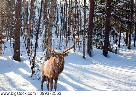Red deer with branched antlers in the forest. Extreme north in winter. The northern winter sun is low on the horizon. Aspen and birch trees are covered with frost.