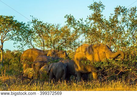 South Africa. Gold sunset in the Kruger Park. The herd of African savannah elephants. Animals live and move freely in the savannah. The concept of exotic and photo tourism