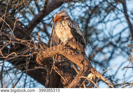 A Southern Yellow-billed Hornbill, Tockus Leucomelas, On A Tree Branch In Northern Namibia