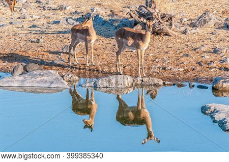 A Black-faced Impala Ewe And Young Ram, With Reflections, At A Waterhole In Northern Namibia