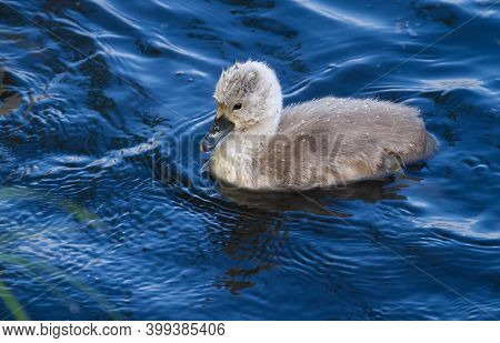 Mute Swan, Cygnus Olor. Chick Floating On The River Near The Shore
