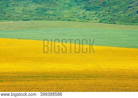 Field of sunflowers.  Yellow sunflowers grow in the field. Agricultural crops. East Kazakhstan regio