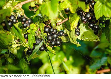 Black currant grows on the branches in the summer in the garden. Fresh tasty berries
