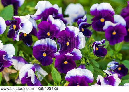 Viola Wittrockiana (inspire Plus Beaconsfield Breed) - Purple And White Large-flowered Garden Pansie