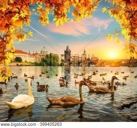 Swans On River Vltava Near Charles Bridge In Prague