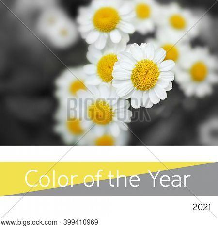 Color of the year 2021, Ultimate Gray and Illuminating yellow. Represented by yellow centred chamomile daisies.