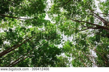 Aerial View Rubber Tree Forest Plantation, Top View Of Rubber Latex Tree And Leaf Plantation, Busine