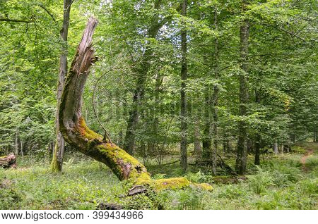 Broken High Tree Trunk In The Forest. Broken Tree Trunk. Concept And Background.