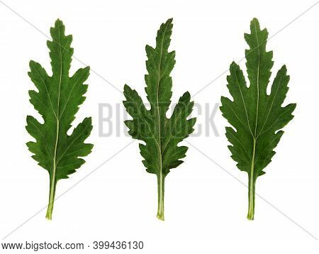 Three Leaves Of Chrysanthemum Flower Isolated On White Background