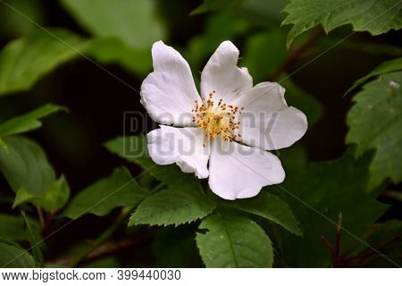 Dog Rose Flower In La Rioja. Its Fruit Contains Tannins That Give An Astringent And Antidiarrheal Ef