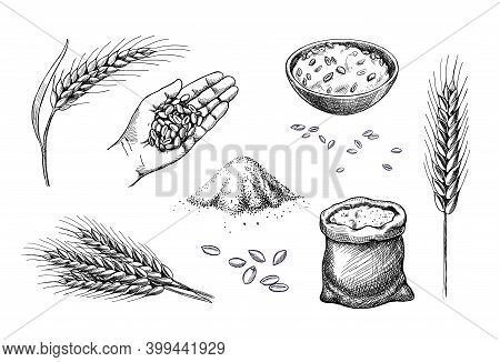 Hand Drawn Wheat. Cereal Spikelets Barley In Hand, Rye In Bag, Wheat Ear Spikes And Seed. Food Sketc
