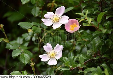 Rosehip Flowers In Different Colors (rosa Eglanteria), Its Oil Is Used In Cosmetics, To Regenerate A
