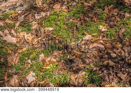 Wide Spread Of Bright Green Fan Club Moss On The Forest Ground Surrounded By Fallen Autumn Leaves Al