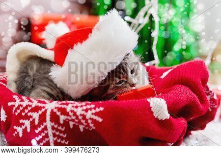 Kitten Portrait In Christmas Santa Hat Eating Gift Box. Cute Gray Kitten On Red Plaid. Newborn Kitte