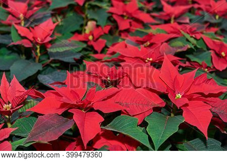 Growing Red Flowers Of Poinsettia, Also Known As The Christmas Star Or Bartholomew Star, Close-up