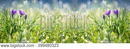 Unfocused Spring Floral Wide Banner With Snowdrops Blooming In The Grass