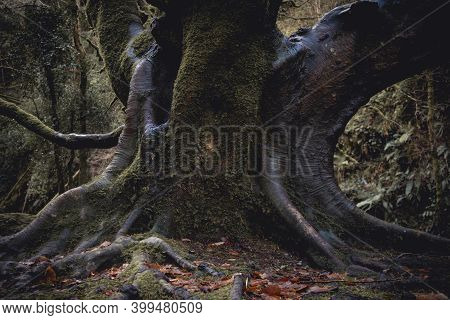 Mighty Roots Of A Majestic Old Beech Tree In A Deciduous Dark Forest