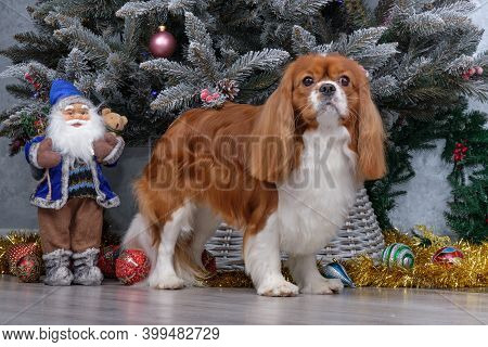 Cropped Cavalier King Charles Spaniel In Front Of The Christmas Tree.