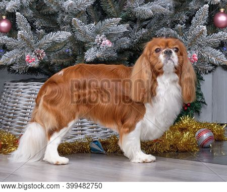 Cavalier King Charles Spaniel Shows Off A New Haircut In Front Of The Christmas Tree.