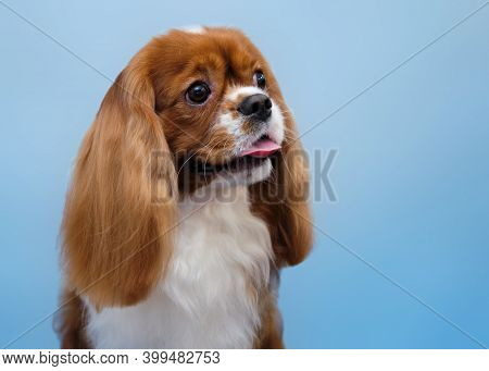 Portrait Of A Cavalier King Charles Spaniel In Close-up Isolated On A Blue Background.