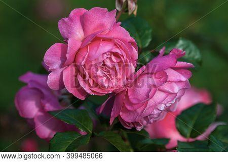 Bright Pink Garden Rose (flora Olomouc, Kolner Flora) Bred By Kordes, Germany