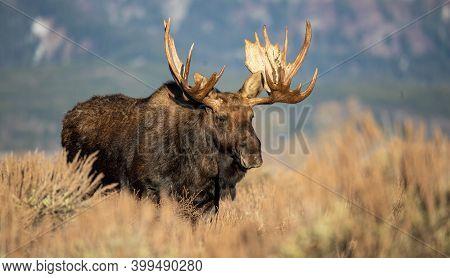 Full Male Bull Moose Rutting In Sage Brush