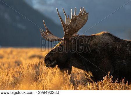 Profile Of Large Male Moose In Sage Brush Mountains