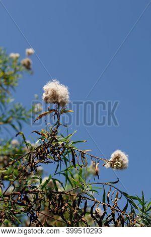 White Mature Pappus Achene Head Fruit Of Seepwillow, Baccharis Salicifolia, Asteraceae, Native Dioec
