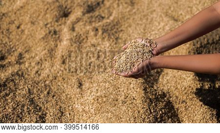 Rice Paddy, Farmer, Harvest Paddy, Golden Yellow Paddy In Farmer Hand