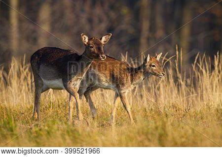 Family Of Fallow Deer Walking On Field In Autumn Nature