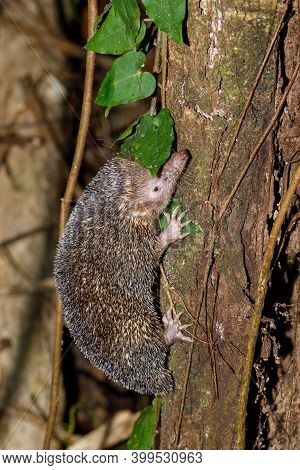 Nocturnal Animal Lesser Hedgehog Tenrec Climbing On Tree In Natural Habitat, Echinops Telfairi, Nosy