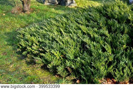 This Variety Is A Very Popular Low-growing Juniper. Low, Wide, With Bright Blue-green Foliage. This
