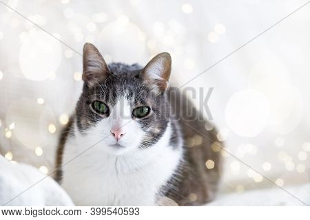 Cute White Gray Adult Cat Lies On The White Bed And Looking At The Camera, The Background Of The Bok