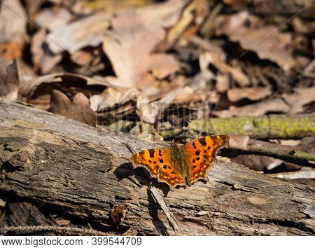 Comma Butterfly (polygonia C-album) Resting On Tree Trunk On Sunny Spring Day