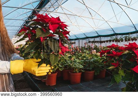 Woman In Yellow Gloves Hold Poinsettia In Pots Greenhouse.