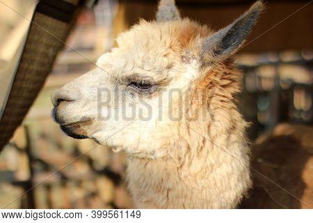 Cute Friendly Alpaca On An Alpaca Farm. Closeup Of An Alpaca Face