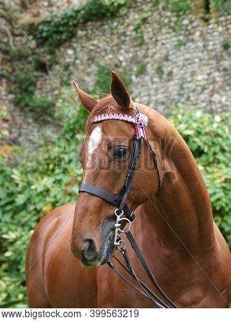 A Head Shot Of An Ex Racehorse In A Show Bridle