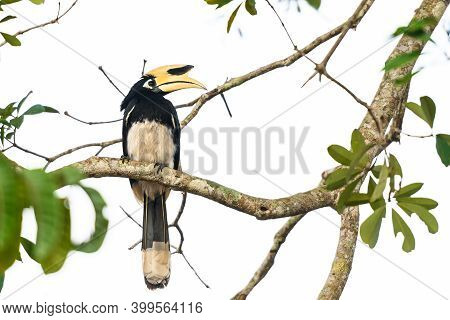 Oriental Pied Hornbill Bird Stair  On The Branch Tree In Nature At Khao Yai Thailand, Anthracoceros