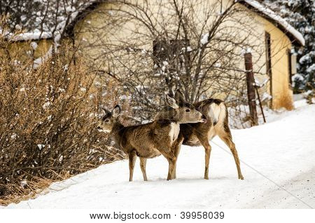 Mule Deer Doe With Young One