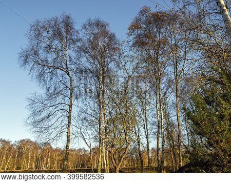 Stark Silver Birch Trees With Bare Winter Branches Against A Blue Sky At Skipwith Common National Na