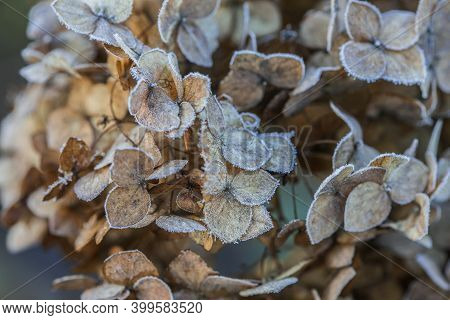 Dried Hydrangea Flower Head Covered With Morning Frost. Frost On Branches And Flowers. Winter In The
