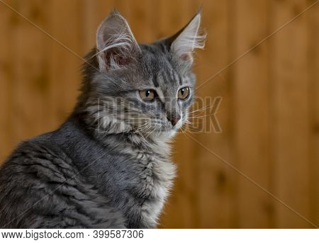 Fluffy Pensive Cat. A Brooding Animal With Gray-brown Fur And Green Eyes