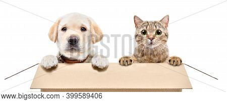 Cute Labrador Puppy And Scottish Straight Cat Sitting Together In Cardboard Box Isolated On White Ba