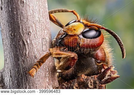 Macro shot of hornet insect. Top margin of the head and all body details are well seen on the picture.