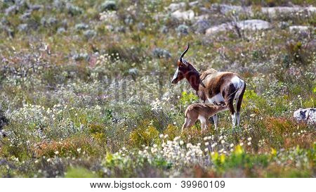 Bontebok With Young