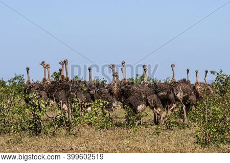 Large Group Flock Of 17 Common Ostrich (struthio Camelus) Female Hens Standing Together Mouths Open