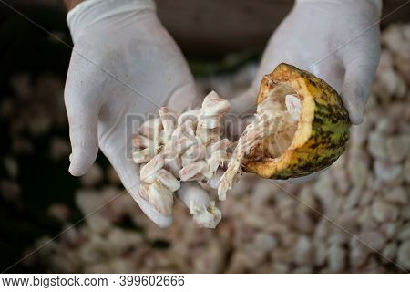 Hands Select Cocoa Beans And Cocoa Pod For The Production Of Cocoa Powder And Chocolate. Cocoa Backg