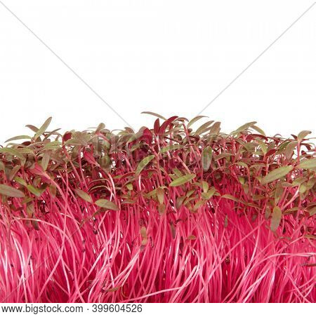 Red amaranth plant healthy natural food source
