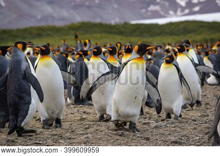 Colony Of King Penguins In South Georgia. A Group Of King Penguins Close Up.